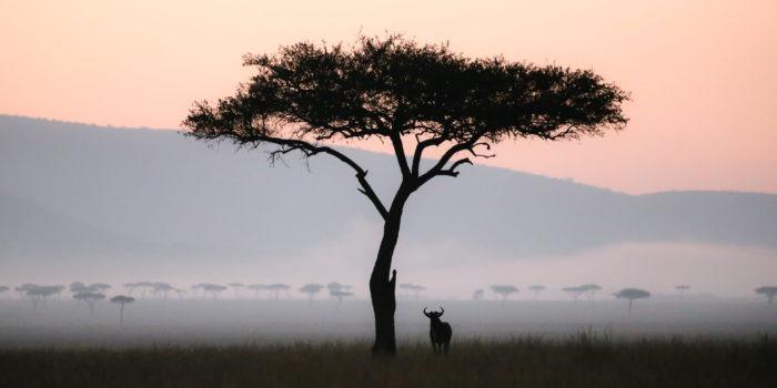 jason tanzania photo wildebeest acacia