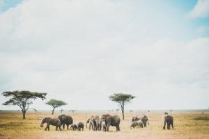 tanzania safaris elephants two thirds
