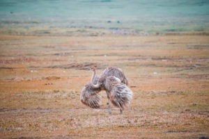 tanzania safaris ostritch