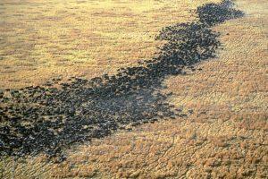 chada katavi buffaloes aerial