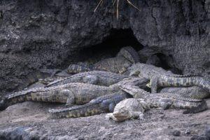 chada katavi crocodiles