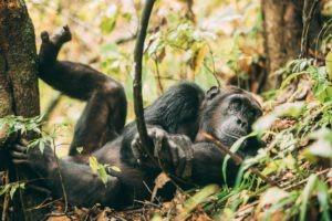 greystoke mahale chimp sleeping