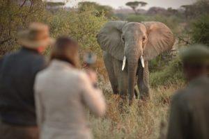 kichaka ruaha elephant walking safaris
