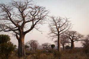 kigelia ruaha baobabs