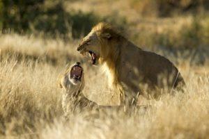 kigelia ruaha lions