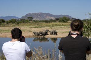 kigelia ruaha walking elephants