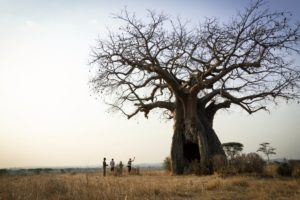 kigelia ruaha walking safari baobab