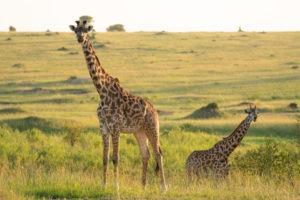 lamai serengeti giraffe