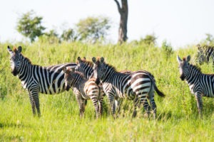lamai serengeti zebra