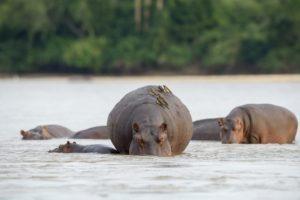 sand rivers selous hippo