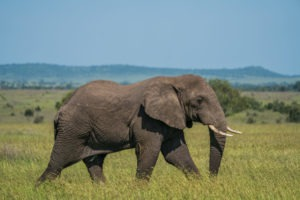 wayo walking camp serengeti elephant bull