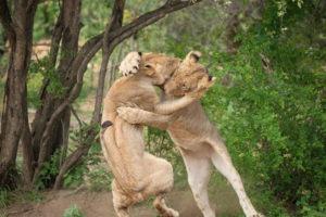 amani safari camp lions jumping