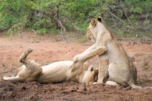 amani safari camp predators