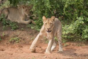 amani safari camp young lions
