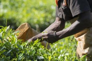 bwindi lodge uganda tea plantation