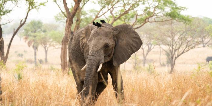 elephant uganda birds