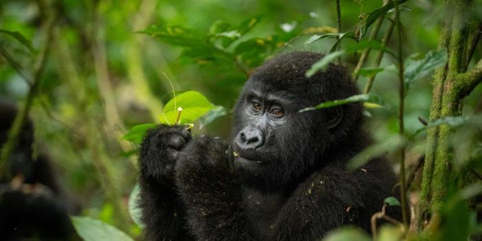 gorilla uganda primate trekking eating