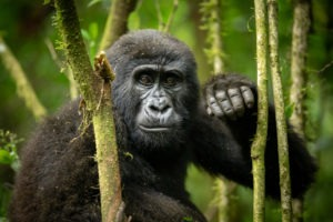 gorilla uganda primate trekking tree
