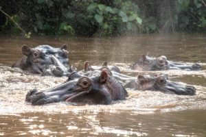 kyambura gorge lodge uganda hippos