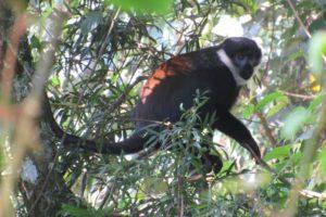 rwenzori trekking uganda monkey 1