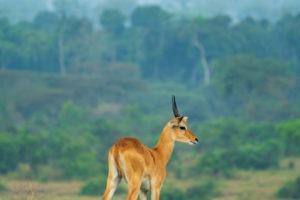 uganda wildlife cob