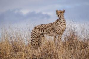 Cheetah2 edited