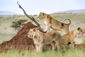 Lion Credit Dave Cox 3