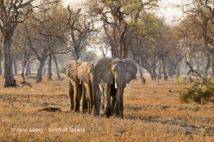 Surefoot Safaris Elephants