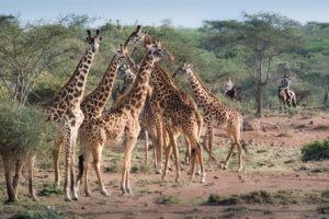 Horse Safari Many long necks