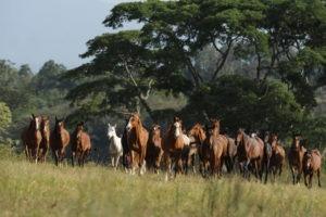 Makoa Pferde Weide