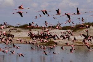 Natron Flamingo Ride Flamingos