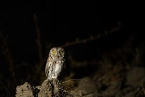 african scops owl zambia