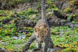 leopard cub luangwa zambia