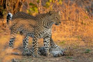 leopard mother cub luangwa zambia photo safari