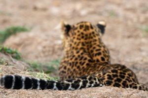 leopard tail luangwa valley zambia