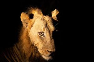 lion night drive luangwa zambia