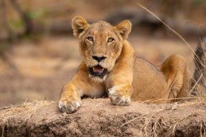 lioness luambe zambia