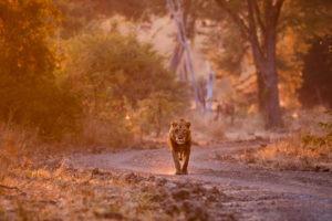 luambe camp lion sunrise zambia