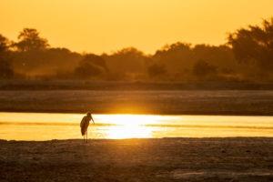 yellow billed stork sunset zambia
