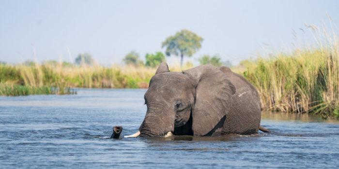 elephant botswana okavango delta swimming