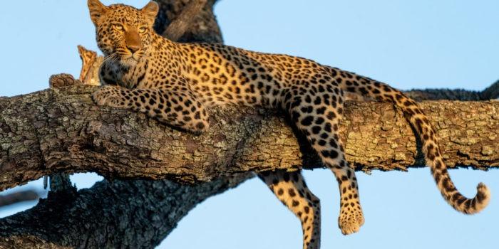 leopard moremi botswana photosafari gesa frank