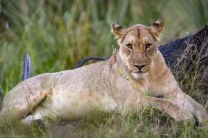 yannick bindert photographer private guide safari lion