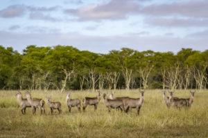 yannick bindert photographer private guide safari waterbuck