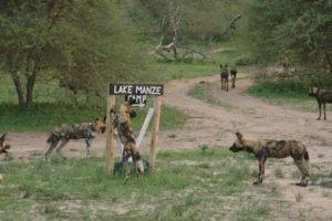 Manze Wild Dogs