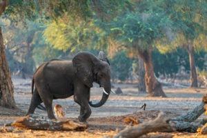 lower zambezi zambia gesa frank safari tusk and mane