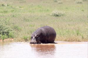 Erindi Old Traders Hippo