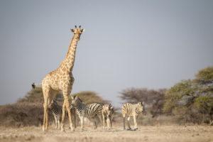 Onguma Etoscha Aoba etoscha wildlife