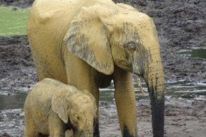golden elephants