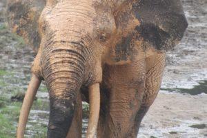 one of the big bulls at Dzanga Bai