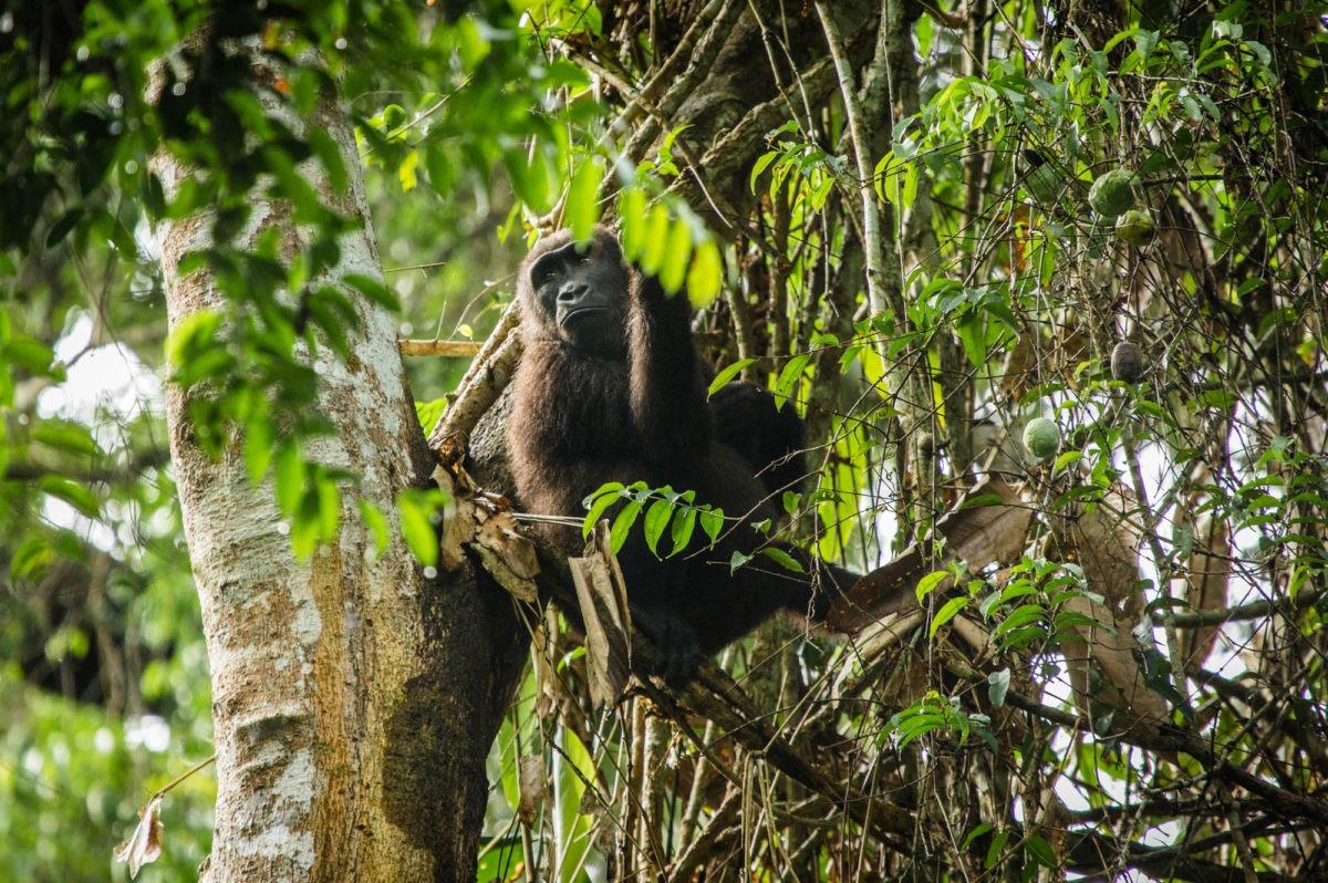 republic of congo odzala ngaga camp lowland gorillas 15